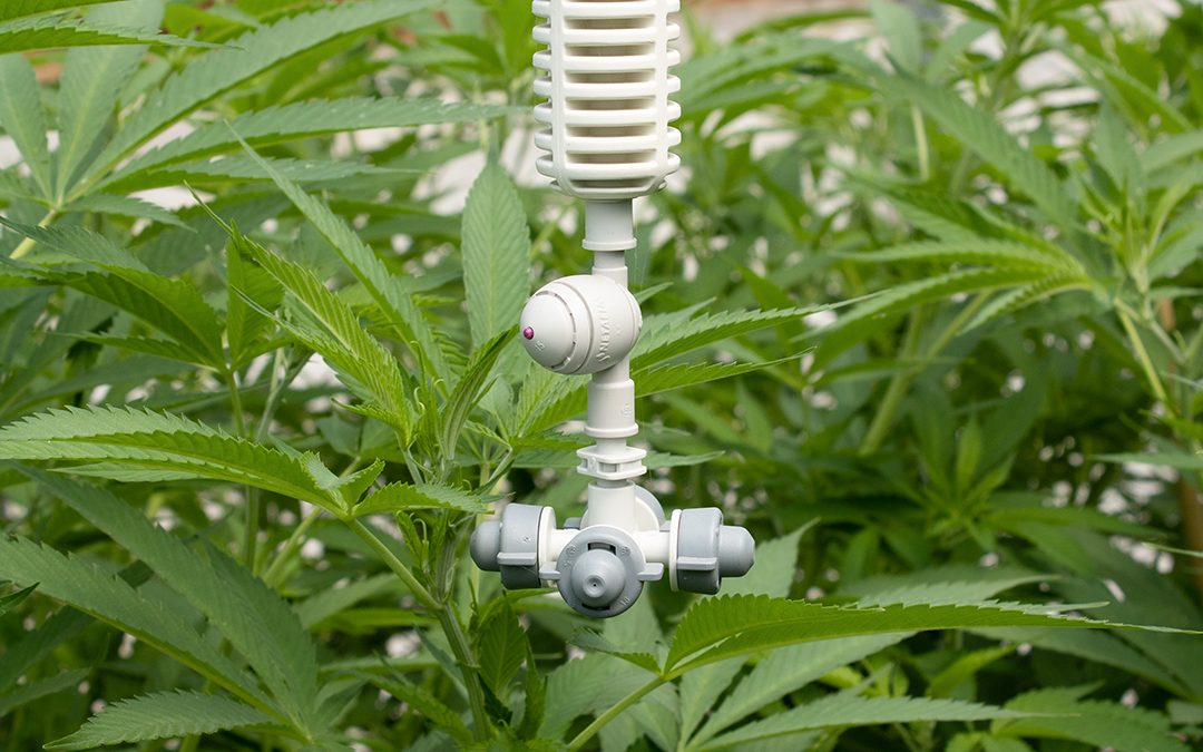 Cannabis with Suspended Watering Spigot